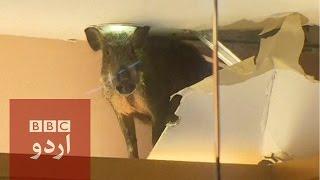 wild boar breaks into hong kong mall bbc urdu