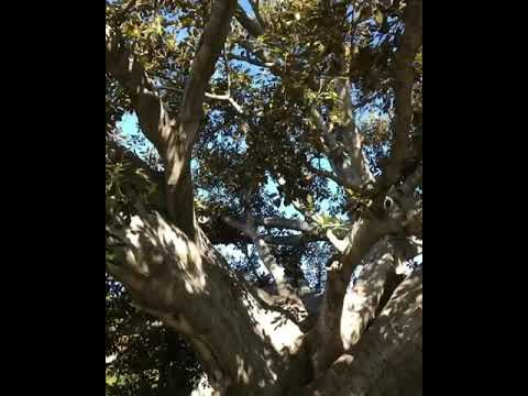 In honor of National Arbor Day the oldest and largest tree 🌳 in Beverly Hilat Beverly Gardens Park