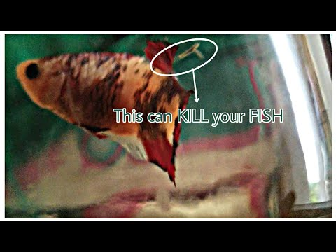 Anchor Worm-Treatment In BettaFish-LifeCycle Cause Prevention -EshwarGandhi