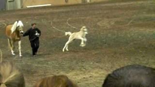 Haflinger Foal goes Nuts!!