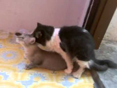 munchkin n persian cat....Suci mating with mickey