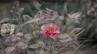 Надо ли обрезать розы на зиму?
