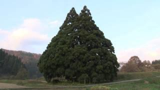 小杉の大杉 山形県鮭川村 A big cedar tree in JAPAN