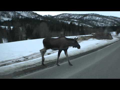 Avslappet norsk elg // Relaxed norwegian moose