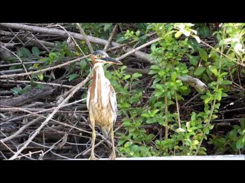 The Herons of Grenada.