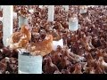 Commercial Poultry Farming in Uganda How to Build a Chicken House in Africa