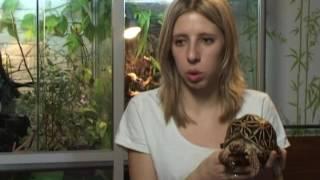 Экзотическая звездчатая черепаха - содержание и уход дома