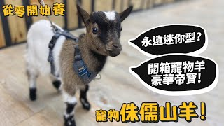 【從零開始養】寵物侏儒山羊!永遠迷你型?開箱寵物羊豪宅帝寶!迷你羊?【許伯簡芝】goat