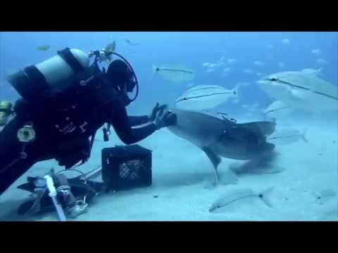Tiger Sharks Want Their Noses Petted Like Puppies in Incredible GoPro Video