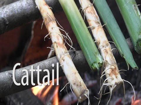 Survival Food - Cattail (Typha latifolia)