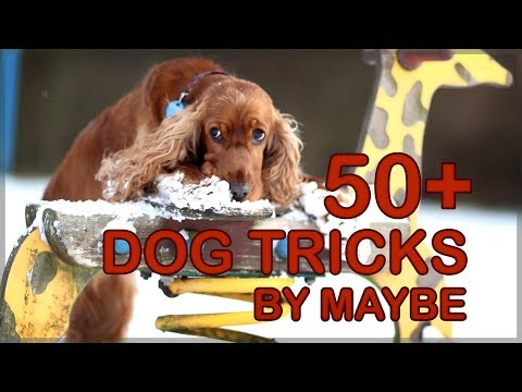 50+ Amazing Dog Tricks by Maybe the Cocker Spaniel