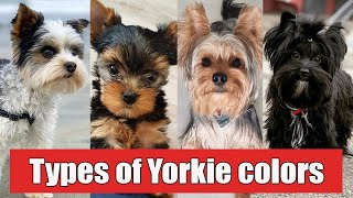 9 Different Types of Yorkshire Terrier Colors And Their Role | Types of Yorkie Colors