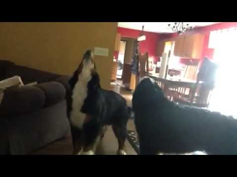 Howling Bernese Mountain dogs