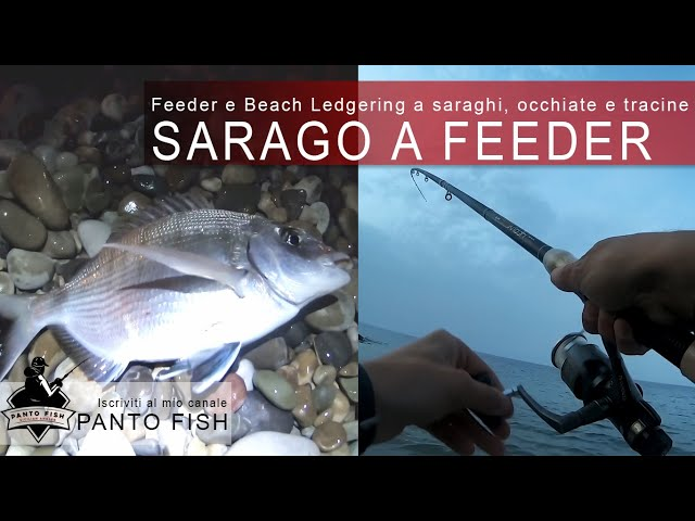 Grosso sarago, occhiate e tracine a Feeder e Beach Ledgering