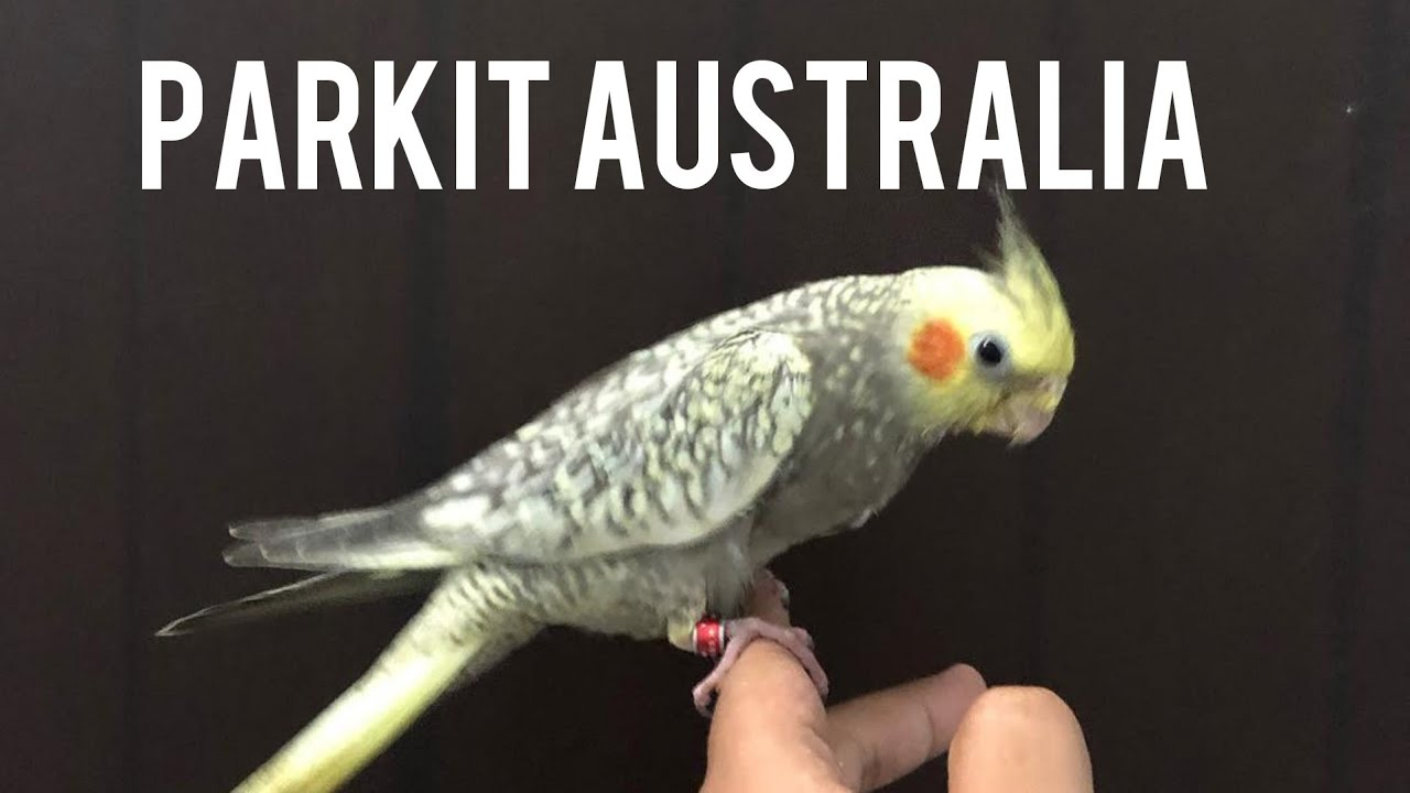 Parkit Australia Si Jambul Kuning Youtube