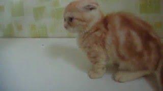 Котенок манчкин вислоухий-окрас красный серебристый мраморный