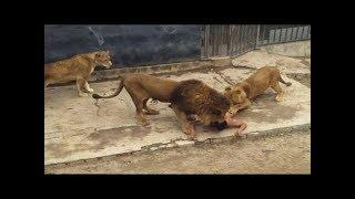 Atak Lwa Lion attack !