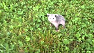 Mom and Baby Possums
