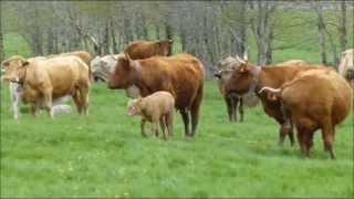 Sonnailles de vaches à Carlucet (Cantal)