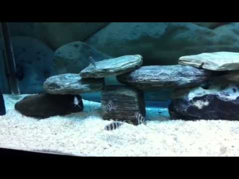 Frontosa African Cichlids New Fish Tank Set Up Youtube