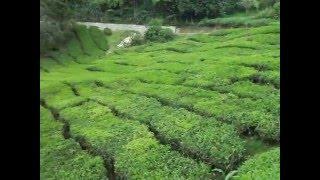 Boh Tea Plantation - Cameron Highlands - Malaysia - April 2010