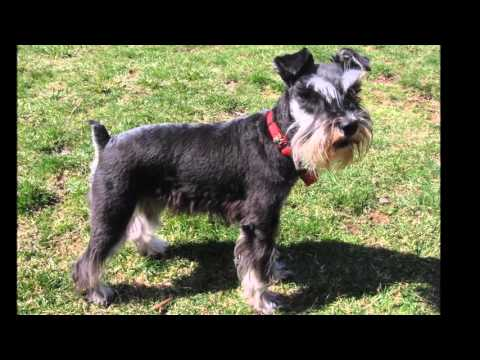 Beautiful photos Miniature Schnauzer dog breed
