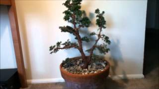 From Nursery to Bonsai - Canadian Hemlock