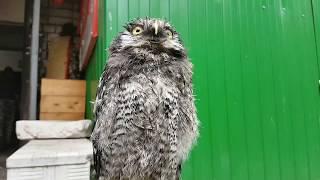 Совёнок ястребиной совы. Hawk-Owl baby