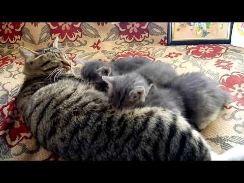 Кошка кормит котят - YouTube