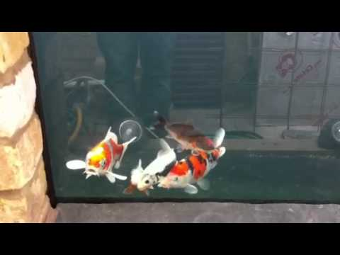 Koi pond window youtube for Koi pond window