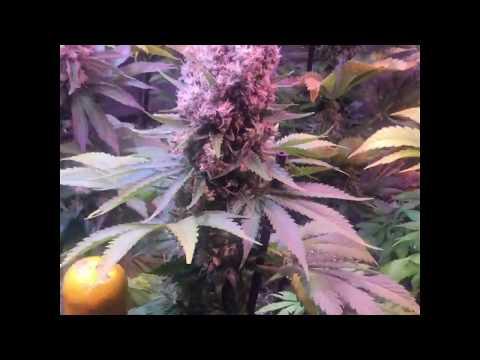 Cómo plantar súper cogollos de marihuana 1: El tutor.