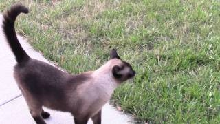 Счастливый сиамский кот Басё :)