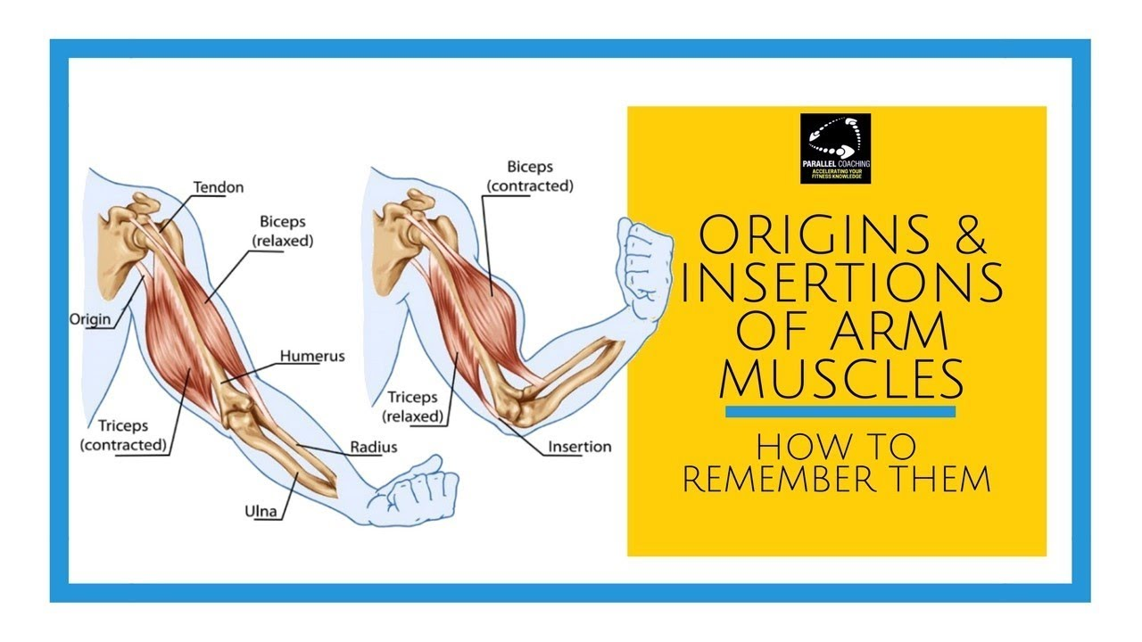 Origins And Insertions Of The Arm Muscles Youtube