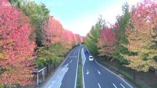 美しい並木道が紅葉しました。 毎年、この紅葉を楽しみにしています。 ...