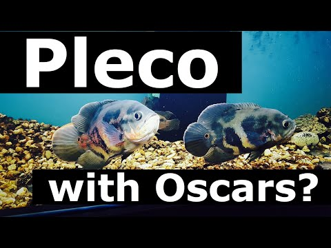 Oscar Fish with Pleco? Catfish Species to Use?