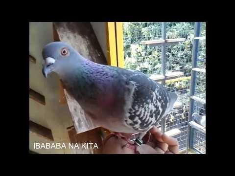 MY TACLOBAN BIRD BFRC SDR-18