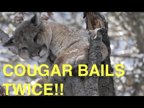 ALBERTA COUGAR HUNTING FROZENMAN OUTFITTERS