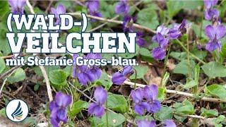(Wald-)Veilchen mit Stefanie - Ausbildung Wildkräuterschule