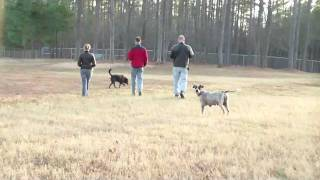 Happy German Shorthair Pointer Mix Playing Ball At The Dog Park