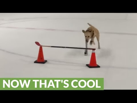 Ice skating dog performs incredible double jump