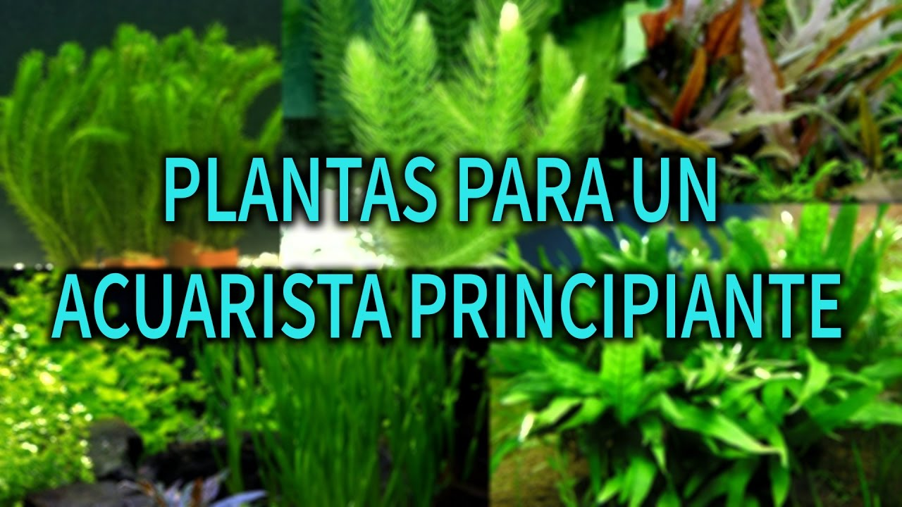 Las mejores plantas para tu primer acuario plantas for Plantas de acuario