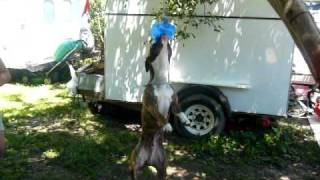 bad ass pit hanging from rope