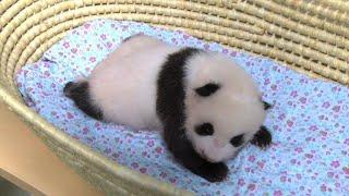 Tokyo panda turns 50 days old