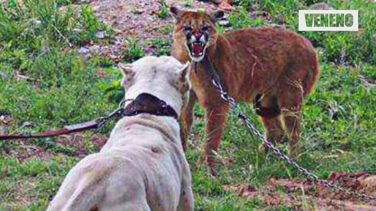 web sátira Fuerza motriz  Perro vs puma ¿quien crees que es el más poderoso? Soy Curioso