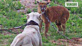 Perro VS Puma - ¿¡Quien es mas PODEROSO!?