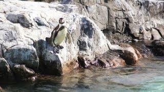 葛西臨海水族園のペンギン達、給餌の時間がきたので陸にいたペンギンは...