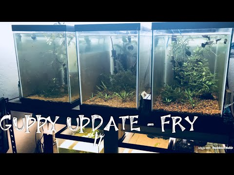 GUPPY FRY - GUPPY UPDATE