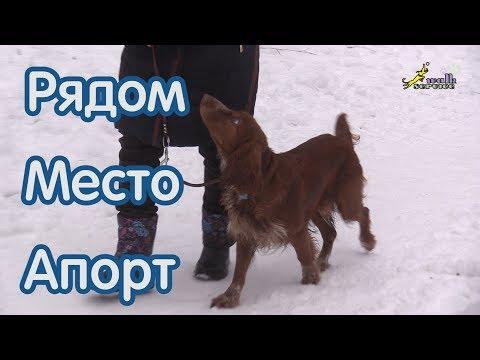 Как научить правильно команде место рядом апорт, русский охотничий спаниель