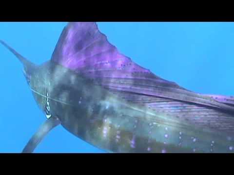 Sailfish_ Istiophorus Platypterus_IGFA Fish Facts