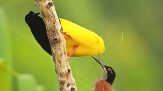 Twelve-wired Bird-of-Paradise
